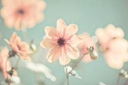 campbellllsoup:  Playful Pastels / Pink Daisies on @weheartit.com - http://whrt.it/RM3cMq