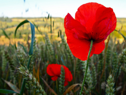 """And far and wide, in a scarlet tide, The poppy's bonfire spread."" Bayard Taylor on Flickr. Join me over on Facebook    Twitter    RedBubble   Flickr"