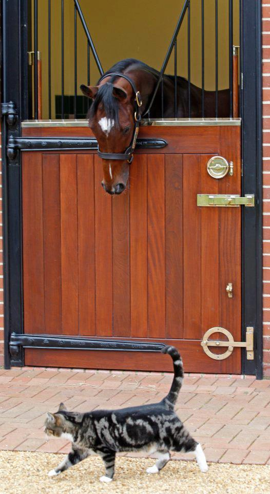 pferdesport:  Frankel (probably the most adorable picture I found off him)