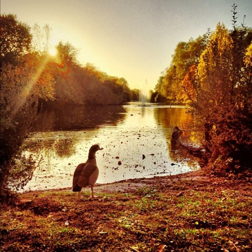 Ducks in the afternoon sunlight #stjamespark #park #parklife #afternoon #sunlight #ducks #animals #autumn #seasons #fall #colour #iphone #iphone5 #iphonography #london  (at Inn the Park)
