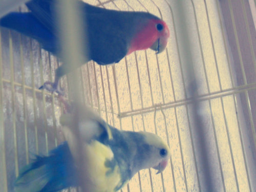 lovebirds. <3