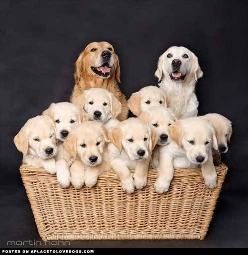 aplacetolovedogs:  A beautiful Golden family, happy mom and dad with the sweetest basket of Golden Retriever puppies Original Article  I mean… sure, why not. I'll take all of them.