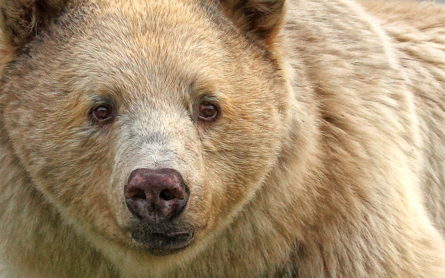 worldlyanimals:  Spirit Bear Up Close (PamsWildImages)