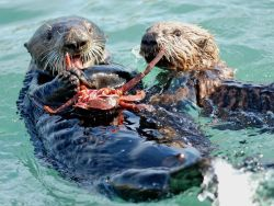 Sea Otters Photograph by Ming Wang