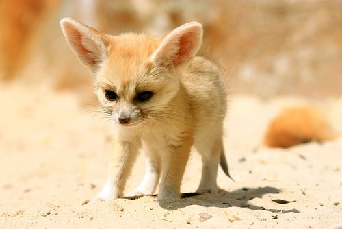 fennec fox cub by gina smith