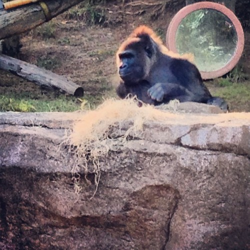 #gorilla #sandiegozoosafaripark #zoo (at San Diego Zoo Safari Park)