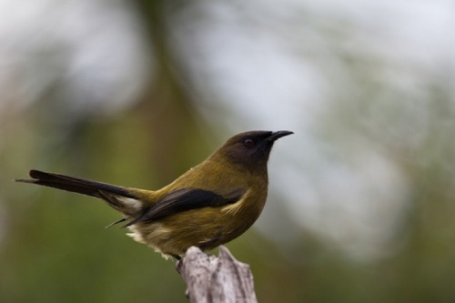 "Researchers discover ""transgender"" bellbird in New Zealand  Biologists at the Zealandia eco-sanctuary in New Zealand have spotted a bellbird that exhibits features and behaviour of both male and female members of the species. The bird hatched in early 2011, and DNA testing then showed it as female, but since then its development has been rather different to normal female bellbirds.  Normally, female bellbirds have a white feather pattern but the chick bean to show signs of the dark plumage normally seen on male birds. It also began to behave in a masculine way, not flitting between flowers like a female bellbird but instead moving with purpose, ready to defend its territory.  The bird's calls are unusual too. It makes both male calls and the distinctive ""chup chup"" normally heard from females, but the latter are louder and more frequent that is normal. Zealandia conservation officer Erin Jeneway told New Zealand's Dominion Post, ""There's something we can't pin down. We haven't seen anything like this before."""