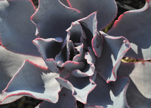 Echeveria Afterglow, an echeveria hybrid succulent…