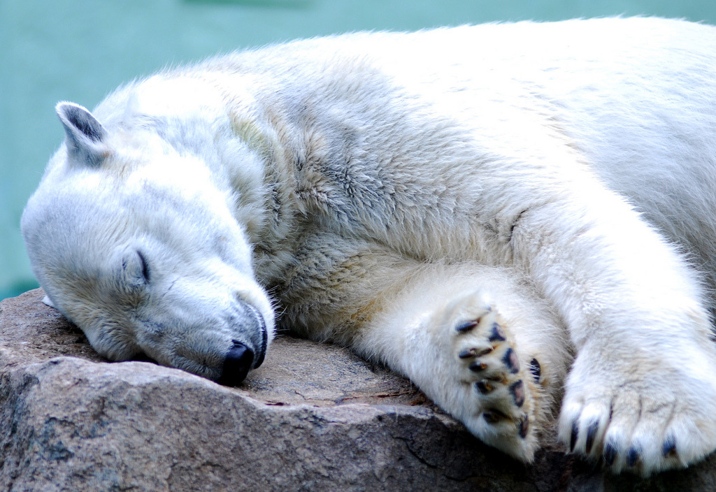 aigla:  Polar bear (by floridapfe)
