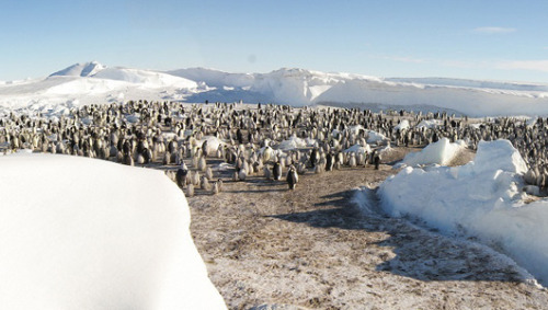 2 new emperor penguin colonies spied in AntarcticaA tally of 6,000 chicks among the populations suggests there are more penguin parents in this part of the frozen continent than previously thought.