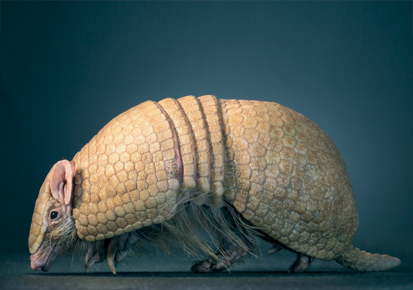 wnycradiolab:  chels:  Armadillos are so cool. I mean, this dude looks prehistoric. And I bet he'd be good at yoga. Those are his little ears tucked under his rear end in that second photo. What a weird and funny creature.  (These photos are from photographer Tim Flach, who has a great series on the human qualities of animals. If you like these, don't miss his photos of bats. They're creepy and endearing all at once.)  just. so. weird.