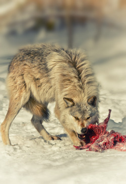 earthandanimals:  A feast fit for a wolf. Photo by Rene B.