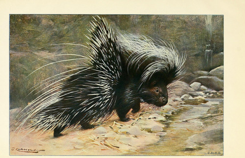 Porcupine by BioDivLibrary on Flickr. Wild life of the world :.London ;F. Warne and co.,1916..biodiversitylibrary.org/page/21738603