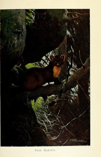 Pine Marten by BioDivLibrary on Flickr. Wild life of the world :.London ;F. Warne and co.,1916..biodiversitylibrary.org/page/21738145