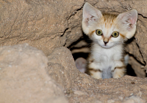 eyes-of-the-cat:  Sand Cat Kitten by Ahmad Al-Essa    'sup? No, go ahead, I'm all ears.