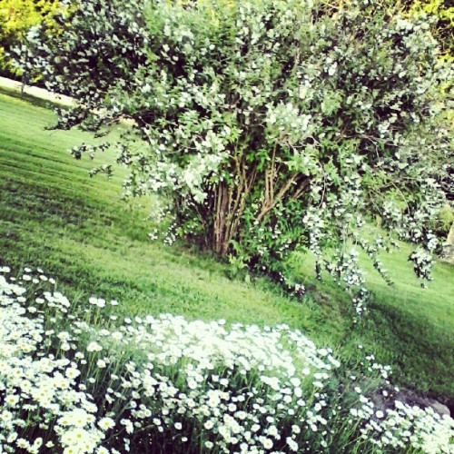 I miss my yard in summer :( #summer #throwback #pretty #nature #creation #instagood #green #grass #white #roses #daisies #sunny #rose #love #flowers