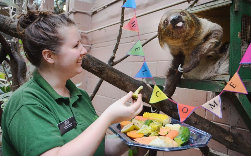 theanimalblog:  Leander the two-toed sloth enjoys a tasty platter of his favourite foods at ZSL London Zoo to celebrate his arrival from Germany. Joining the zoo's Rainforest Life exhibit, which is already home to a female sloth, Marilyn, Leander moved to ZSL London Zoo from Germany as part of a conservation breeding programme.  Picture: ZSL/Rex Features  Aw, look at him! I hope there's a follow up story about sloth babies…