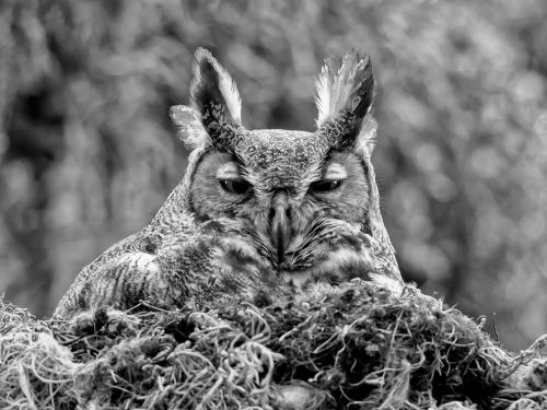 theanimalblog:  Great Horned Owl by Ken Blye