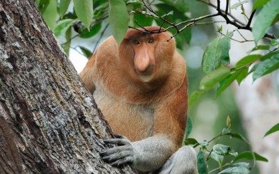 I love these monkeys. (A proboscis monkey in Sabah, northern Borneo) Picture: Alamy (via Animals in the wild: wildlife around the world - Telegraph)