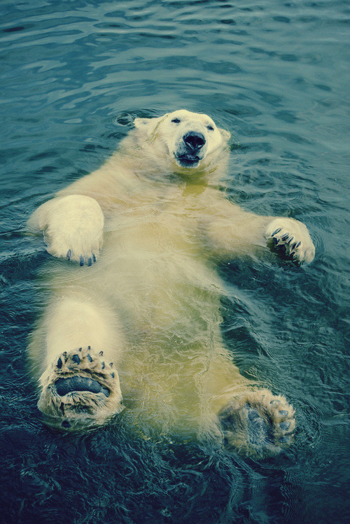 funnywildlife:  Polar Bear Floating Away!