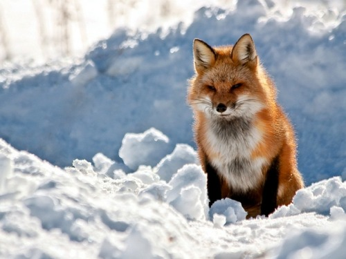 ikilledlaurapalmer:  New Hampshire Red Fox