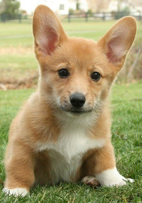 corgiaddict:  Gus at 11 weeks  Must have!!