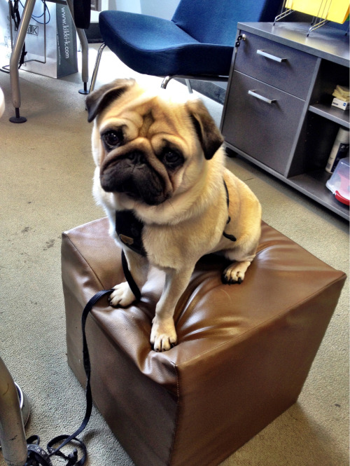 harrythepug:  I was on the phone to a client, so Harry decided that it would be fun to sit on this cushion next to me and bark. Should have given him a longer walk this morning!