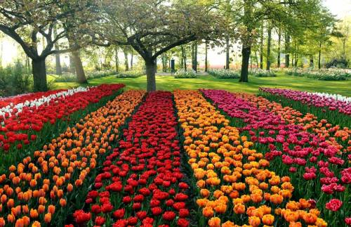 aknightintarnishedarmour:  Tulip fields in the Netherlands
