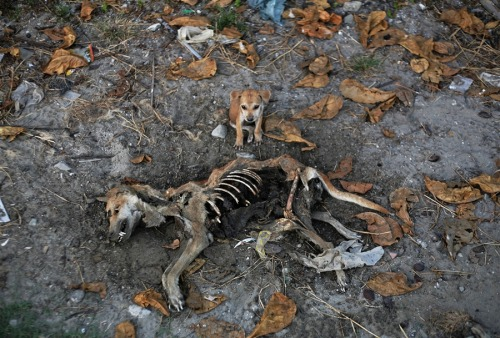 luanlegacy:  planetaryserenade:  Nov. 6: A puppy refuses to leave the remains of its dead mother days after it was killed in an area burned in violence between Buddhist Rakhine people and Muslim Rohingya people in Kyaukphyu, Burma.(Photo: Reuters)  oh my…. right in the feels..