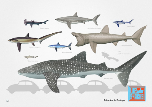 Here are some of the sharks existing in Portuguese territorial waters, representing their relative sizes. More here.  Thanks for the submission!