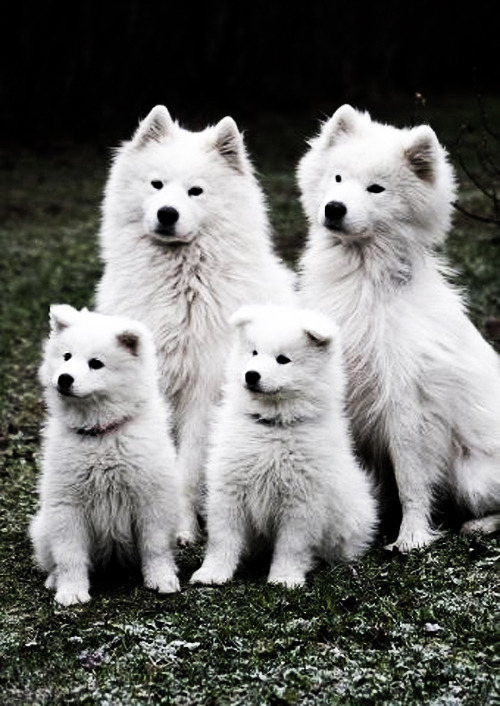 Samoyed Family beautifulandfantastic:  Tumblr on We Heart It. http://weheartit.com/entry/42586818