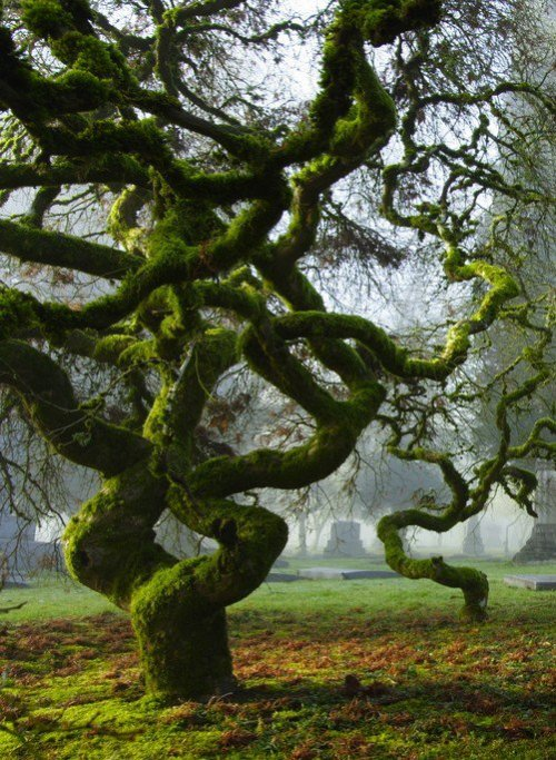 ingridmatthews:  Moss covered Japanese Maples in Portland, Oregon