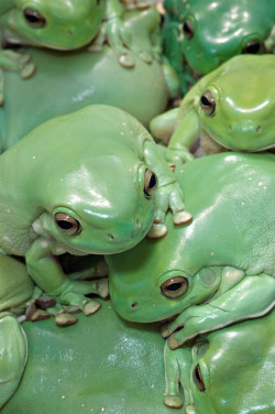 earthandanimals:  A cluster of White's Tree Frogs.