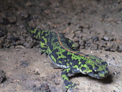 A female marbled newt, Triturus marmoratus, native to France and northern Spain.  The orange stripe is present in all juveniles, but disappears in adult males after about 9 months.
