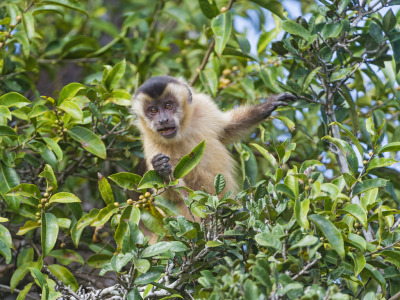 Capuchin monkey in the tree (by Tambako the Jaguar)