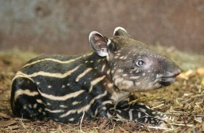 (via Take a peek at Prague Zoo's baby Tapir! - ZooBorns)