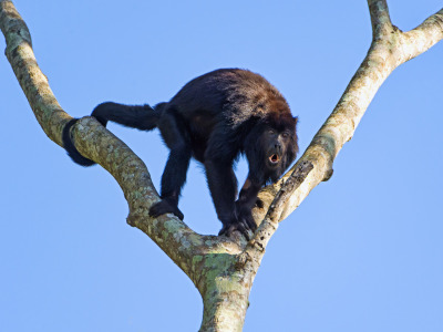 Male howler monkey in the tree (by Tambako the Jaguar)