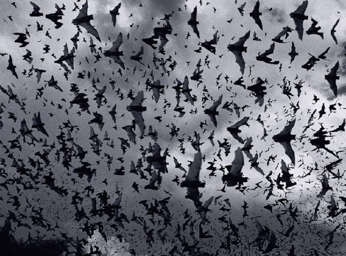 INFLUENCE.  Fruit Bats. Photograph by Tim Flach. Inspiration by Creative Director, Michael Colovos