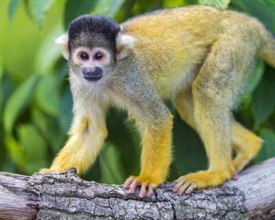 Surprised squirrel monkey (by Tambako the Jaguar)