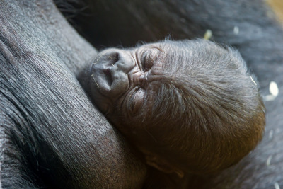 Baby gorilla sleeping (by Tambako the Jaguar)