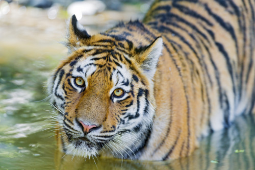 Is there anything in the world as fiercely beautiful as a tiger? theanimalblog:  Luva in the water looking at me (by Tambako the Jaguar)