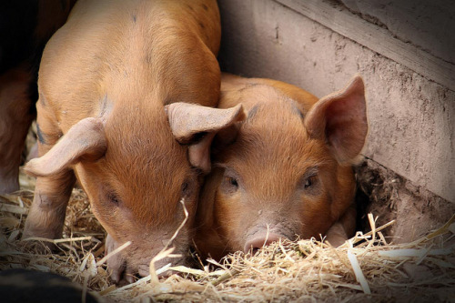 animalgazing:  Piglets 2 by GraphicReality on Flickr.