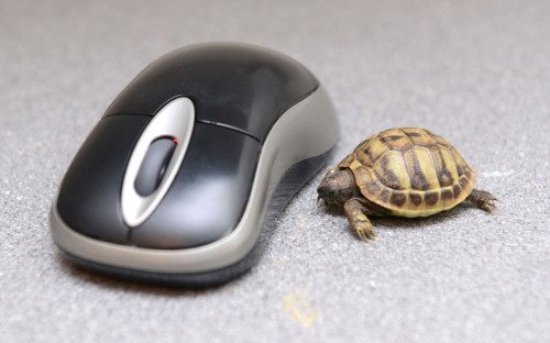 Tank the tiny tortoise is dwarfed by a computer mouse at Paradise Wildlife Park, in Broxbourne, England. The Hermann's tortoise is six months old, and will not be fully grown until the age of six, when he should weigh about 3kg.  Picture: Alex Smale / Barcroft Media