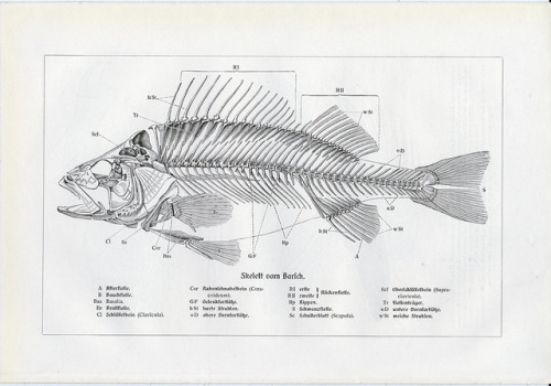 skullandbone:  FISH SKELETON by Vintage and antique treasures on Flickr.
