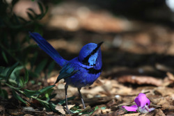 animals-animals-animals:  Splendid Fairy-wren (by Robert Mclean)