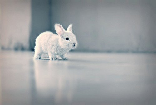 animals-animals-animals:  Rabbit (by cintiiaa)