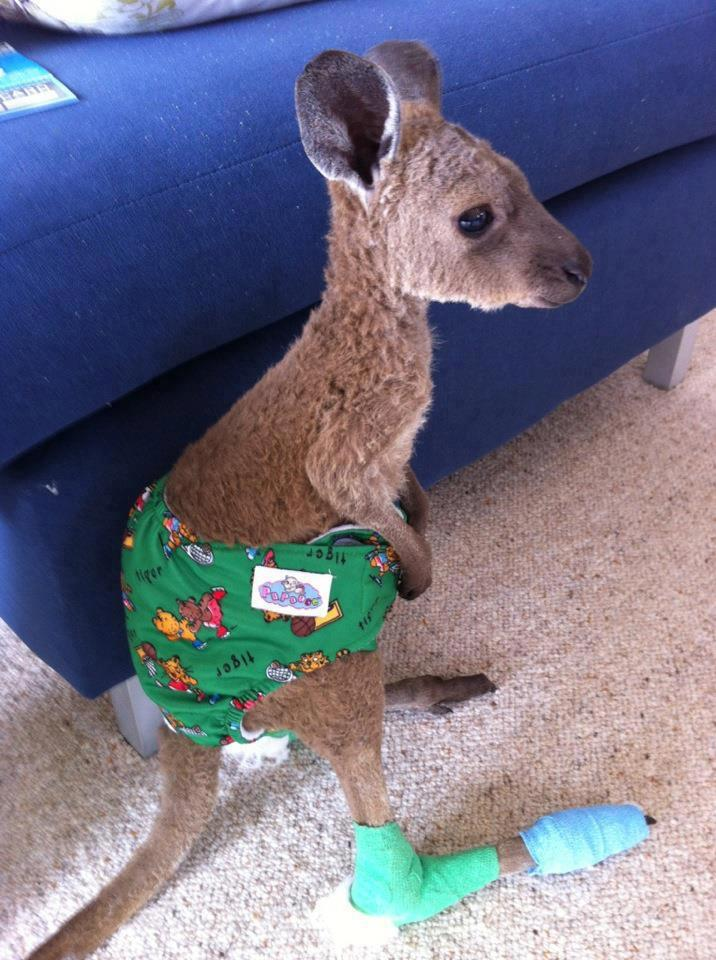 amandafiske:   This poor little joey was hurt in a recent bush fire. His feet are pretty burnt so the goal is to try and keep him off his feet so they can heal.  I posted this at 2:30 and it's hit 20,000 notes what the fuck  You can't not reblog a kangaroo baby in a diaper.