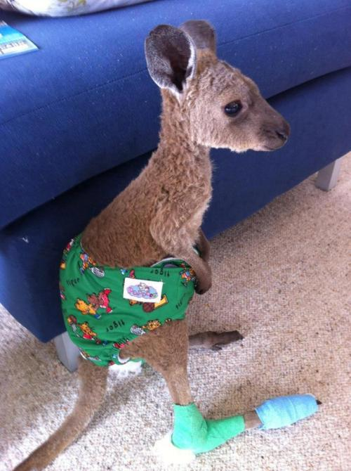 futurebabyo:  raindropzofsunshine:  amandafiske:   This poor little joey was hurt in a recent bush fire. His feet are pretty burnt so the goal is to try and keep him off his feet so they can heal.  I posted this at 2:30 and it's hit 20,000 notes what the fuck  You can't not reblog a kangaroo baby in a diaper.   is he wearing a lil joey….. ba dum tiss