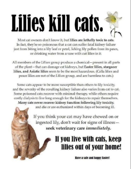 i will always hate this because lilies are my favorites and so are cats ):