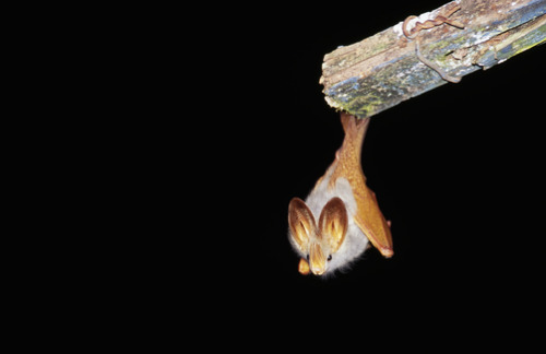 softroot:  battime:  Lavia frons - Yellow-winged bat hanging from under a building eave Photo by Jason Edwards. Kisoro District, Western Uganda  omg it looks like a little droplet of gold
